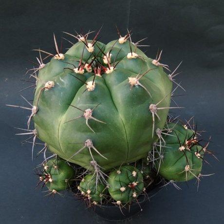 181205_140431--chiquitanum--Mesa seed 460.9