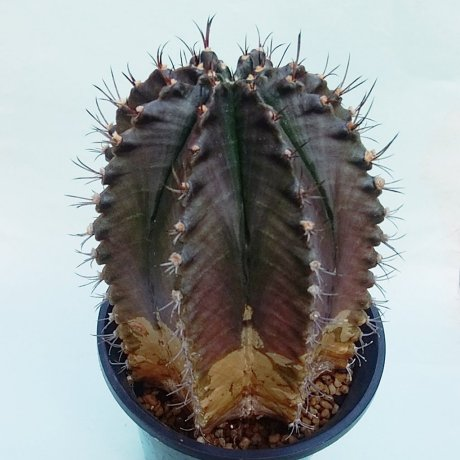 181202_110813--mihanovichii v stenogonum--Mesa seed 472.2