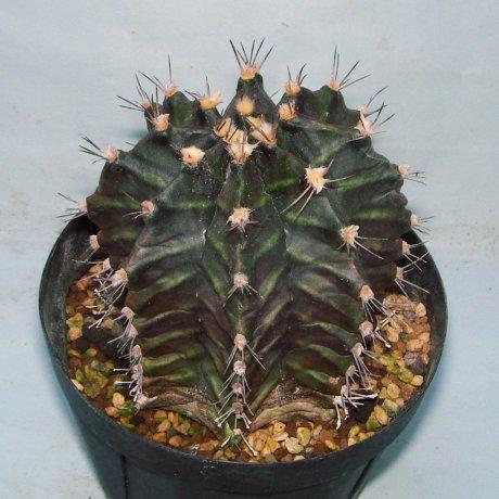 171121--Sany0034--mihanovichii v filadelfiense--STO 1224--Mariscal Paraguay--Amerhauser seed--ex Tutiya