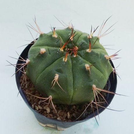 181202_143137--damsii ssp evae v boosii--VoS 08-321--VoS seed