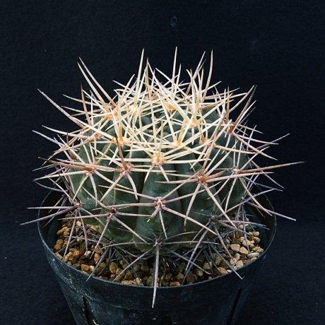 181212_095148--gibbosum ssp ferox f nobile--JPR 54-121--ex Eden 14484