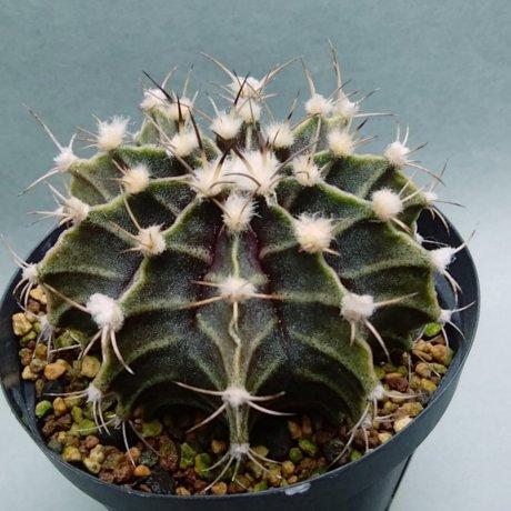 181216_131357--friedrichii---STO 995--Amerhauser seed (2009)