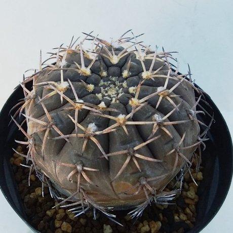 181223--DSC_0014--bodenbenderianum v sanjuanense--STO 556--Piltz seed 5019 --ex Milena