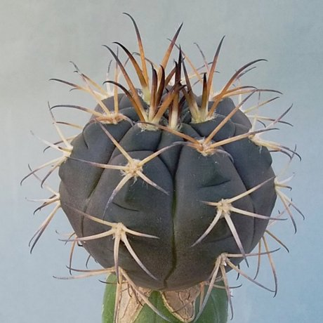 181227c--DSC_0031--catamarcense sso elegans--Tom 529-1--noord Punta del Aqua--Bercht seed 2252(2011)