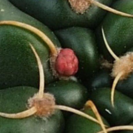 190108cc--DSC_0143--paraguayense--P 447--Piltz seed