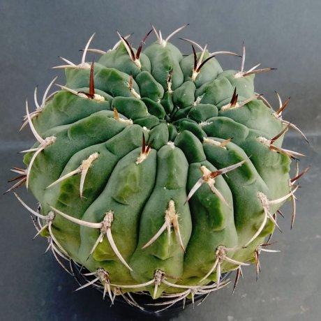 190108a--DSC_0111--catamarcense fa ensispinum--OF 27-80--Piltz seed 2645