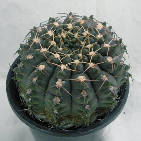181007--Sany0031--ochoterenae v albispinum-Jecminek seed 0-2724-