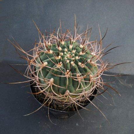 190108--DSC_0114--weissianum v atroroseum--Koehres seed (2009)