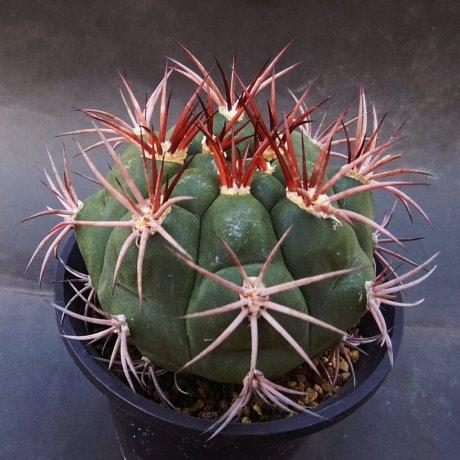 190118--DSC_0131--pflanzii v paraguayense--Pilcomayo Paraguay--Piltz seed 1123 (2014)