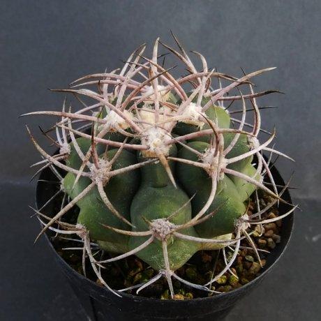 190108--DSC_0123--castellanosii v rigidum--JO 1425--Chila LR--ex Eden IB 18622-(2012)
