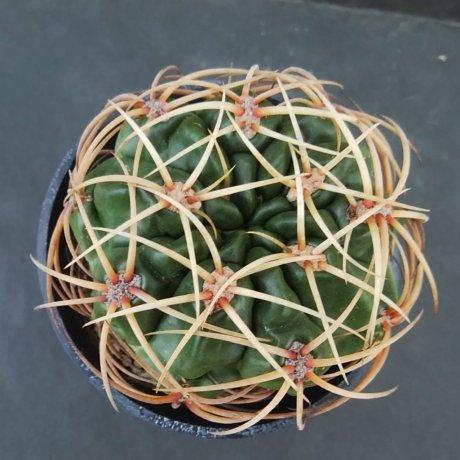 190129--DSC_0172--monvillei v steineri--Kulhanek seed