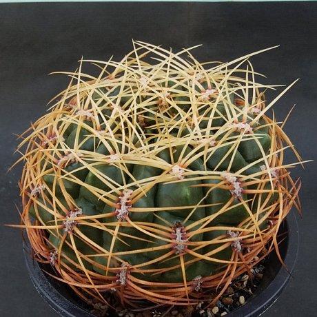190129--DSC_0162--monvillei v coloratum--HV 361--Bercht seed 1815 (2007)