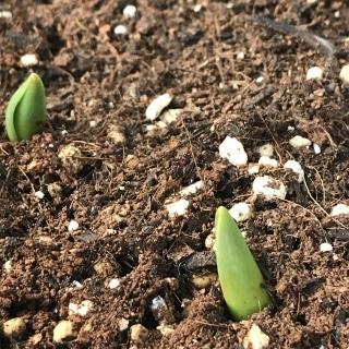 芽チューリップ