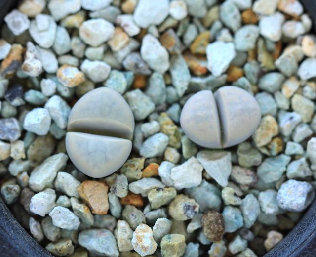リトープス・C272菊水玉