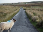 Sheep in Highland
