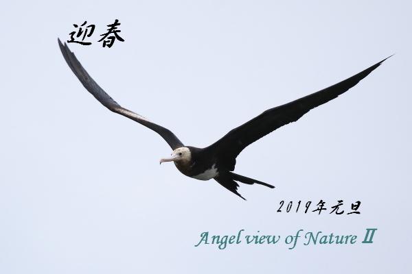 オオグンカンドリ(幼鳥)1810040466①