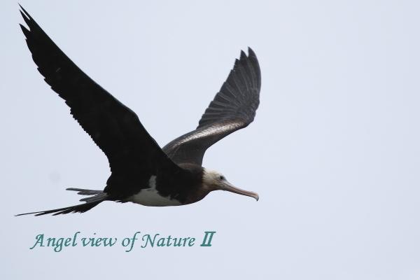 オオグンカンドリ(幼鳥)1810040685①