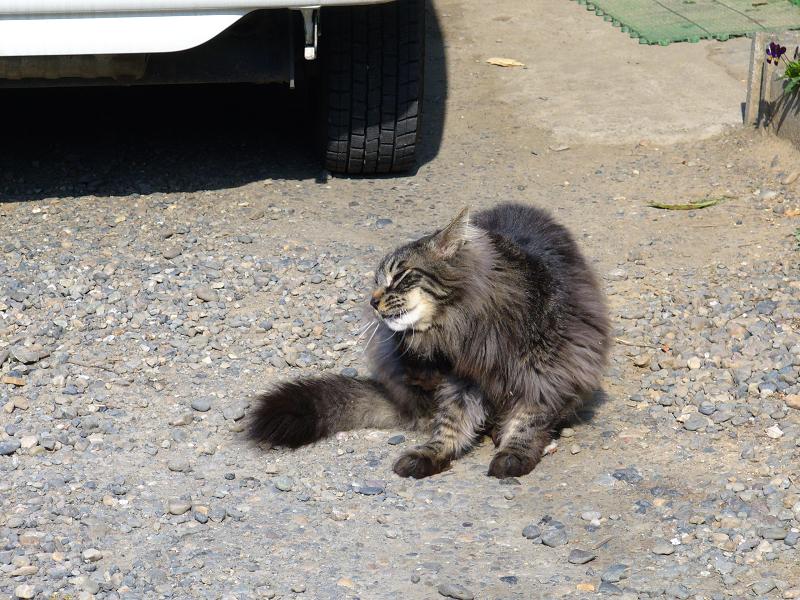 朝の砂利駐車場の毛長の黒猫1