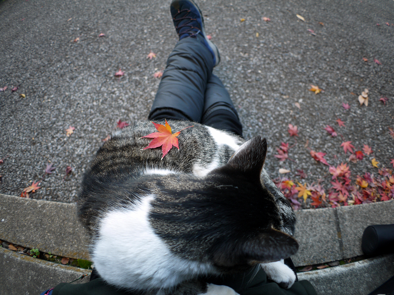 もみじと膝に乗ったキジ白猫1
