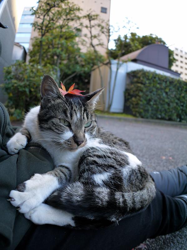 もみじと膝に乗ったキジ白猫3