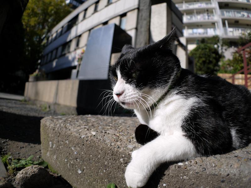 腹ばう黒白猫