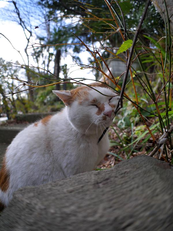 小枝に擦り付ける白茶猫1