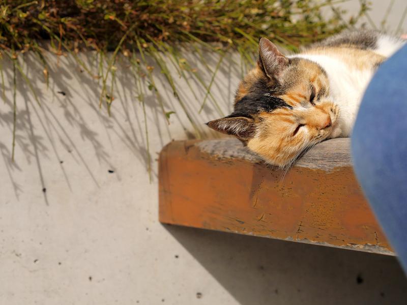 ベンチで気持ちが良さそうな三毛猫1