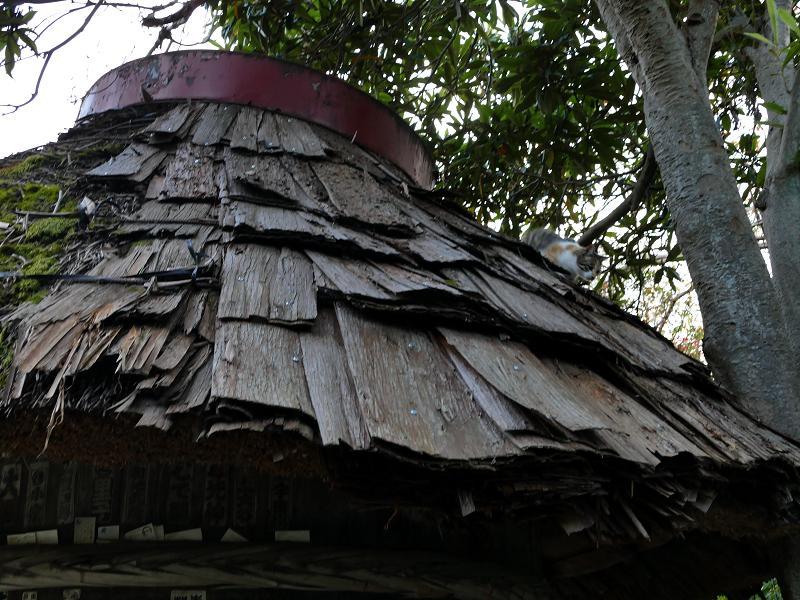 檜皮の屋根から降りてくる三毛猫1