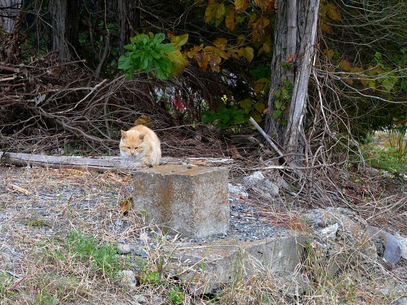 空き地の茶トラ猫1