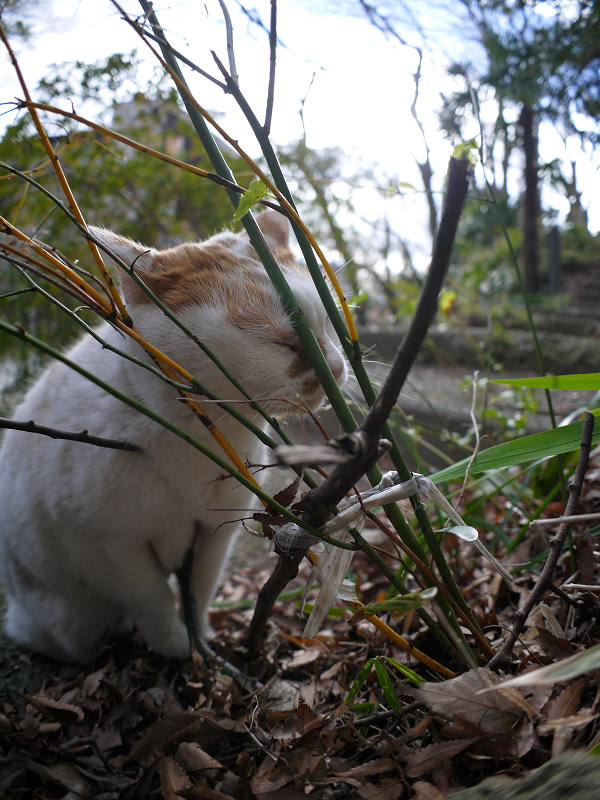小枝に擦り付ける白茶猫2