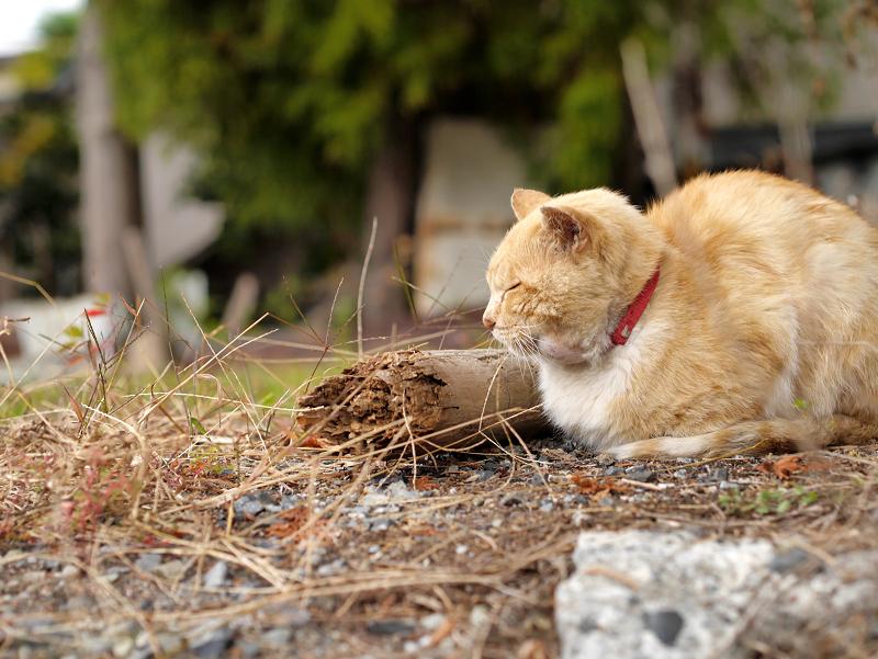 空き地の茶トラ猫2