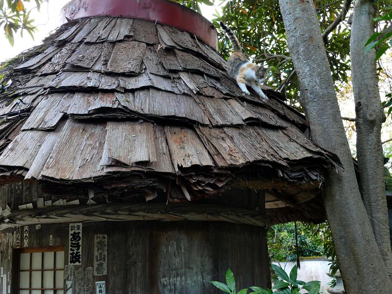 檜皮の屋根から降りてくる三毛猫2