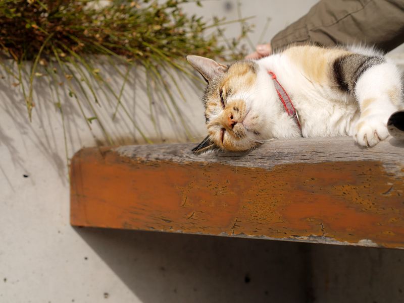 ベンチで気持ちが良さそうな三毛猫3