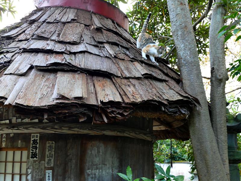 檜皮の屋根から降りてくる三毛猫3