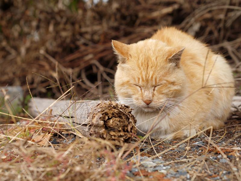 空き地の茶トラ猫4