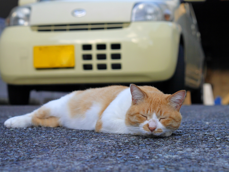 軽自動車の前の茶白猫1