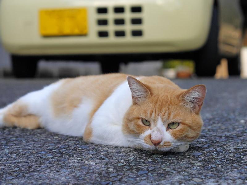 軽自動車の前の茶白猫3