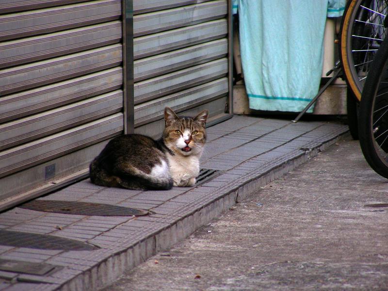路地奥で鳴いているキジ白猫1