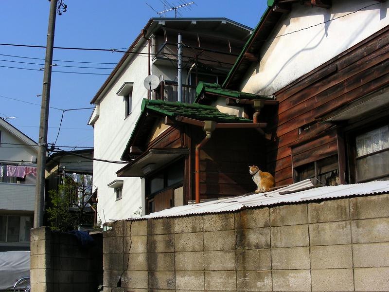 民家トタン屋根上の茶白猫1