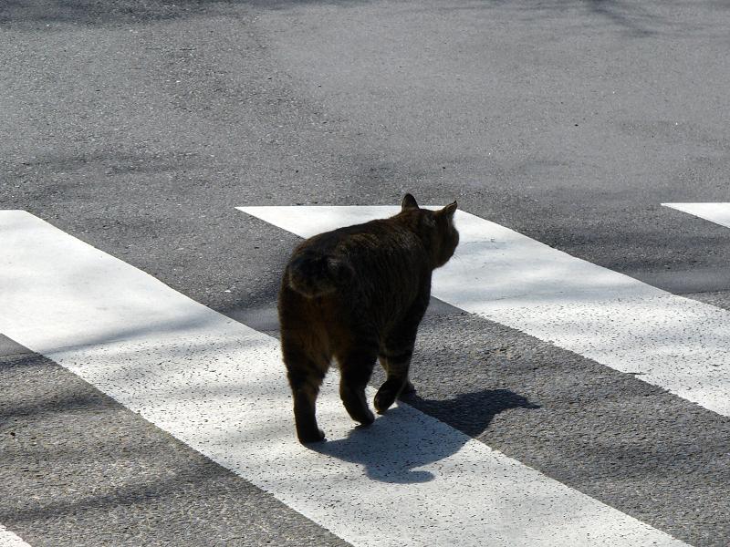 横断歩道を歩くキジトラ猫1