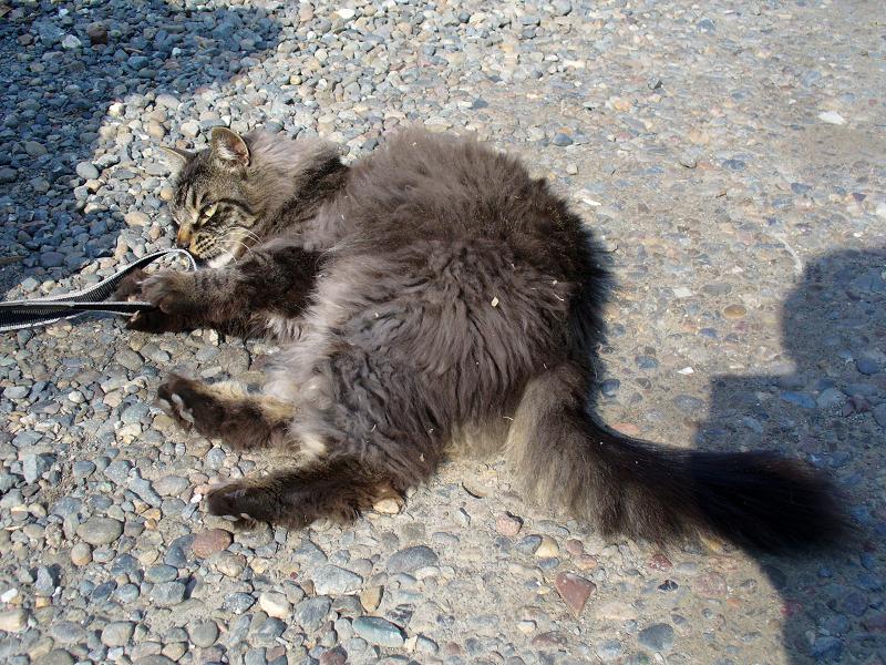ストラップで遊んだ毛長の黒猫1