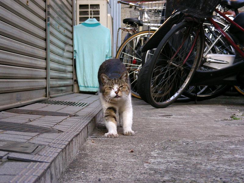 路地奥で鳴いているキジ白猫2