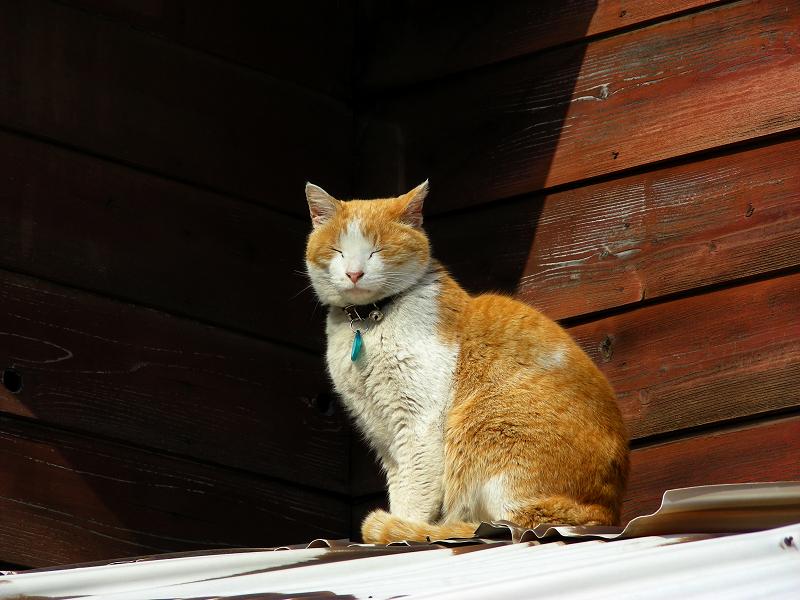 民家トタン屋根上の茶白猫2