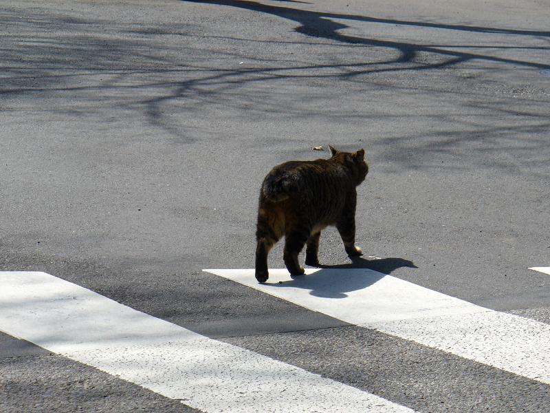 横断歩道を歩くキジトラ猫