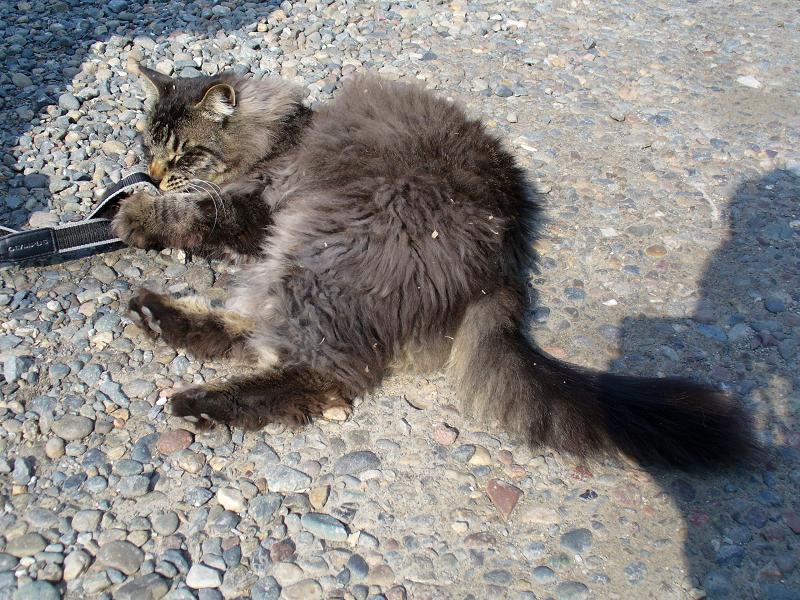 ストラップで遊んだ毛長の黒猫2