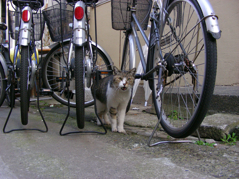路地奥で鳴いているキジ白猫3