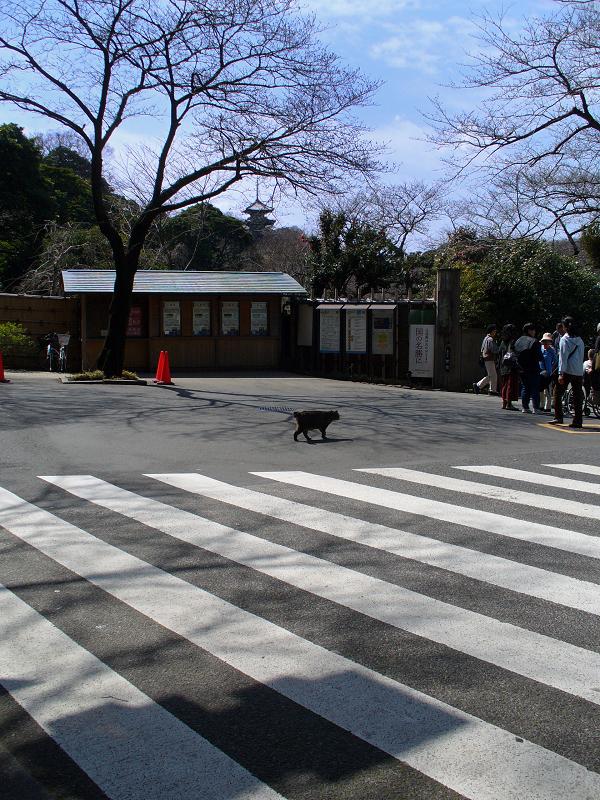 横断歩道を歩くキジトラ猫3