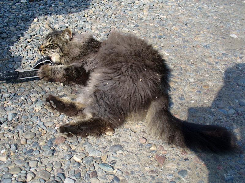 ストラップで遊んだ毛長の黒猫3