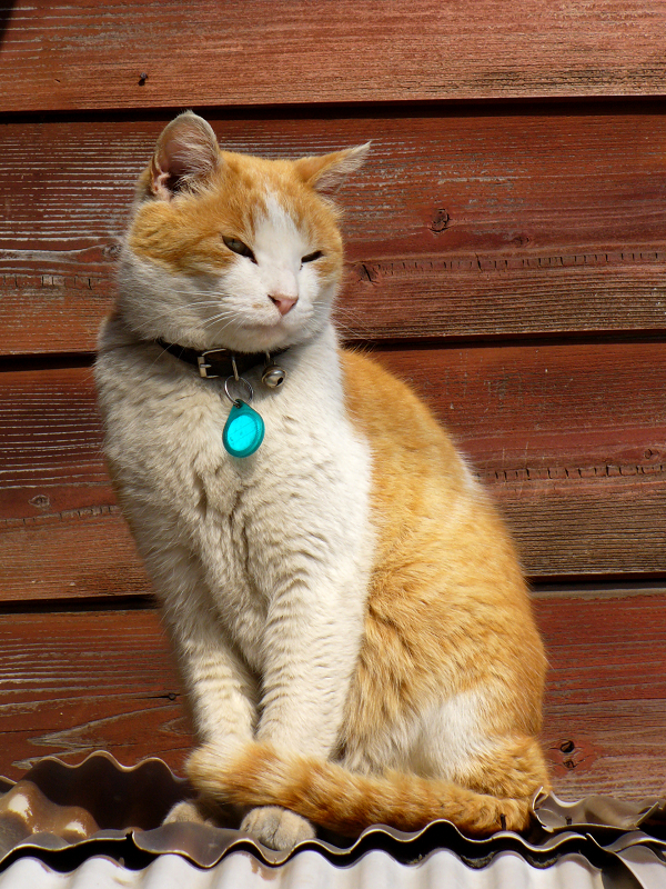 民家トタン屋根上の茶白猫3