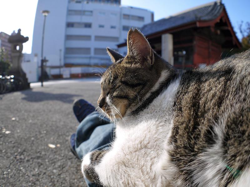 膝に乗ったキジ白猫1